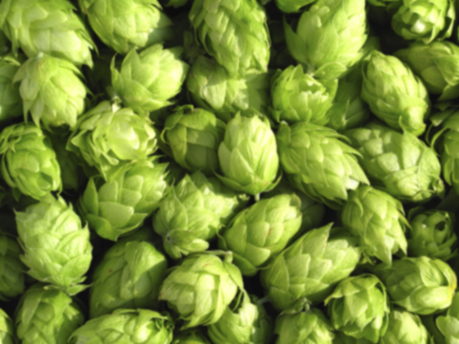 Beer Hops Wallpaper Wallpapersafari