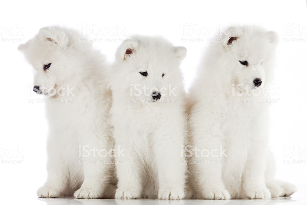 Three Samoyed Puppies Isolated On The White Background Funny Pu 1024x683