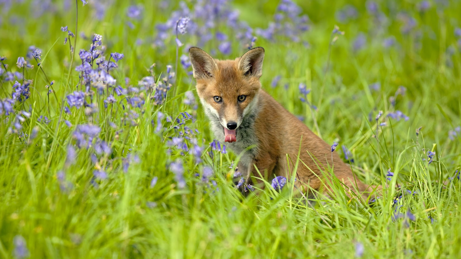 HD animal wallpaper of a red fox in the high grass Fox wallpaper 1600x900