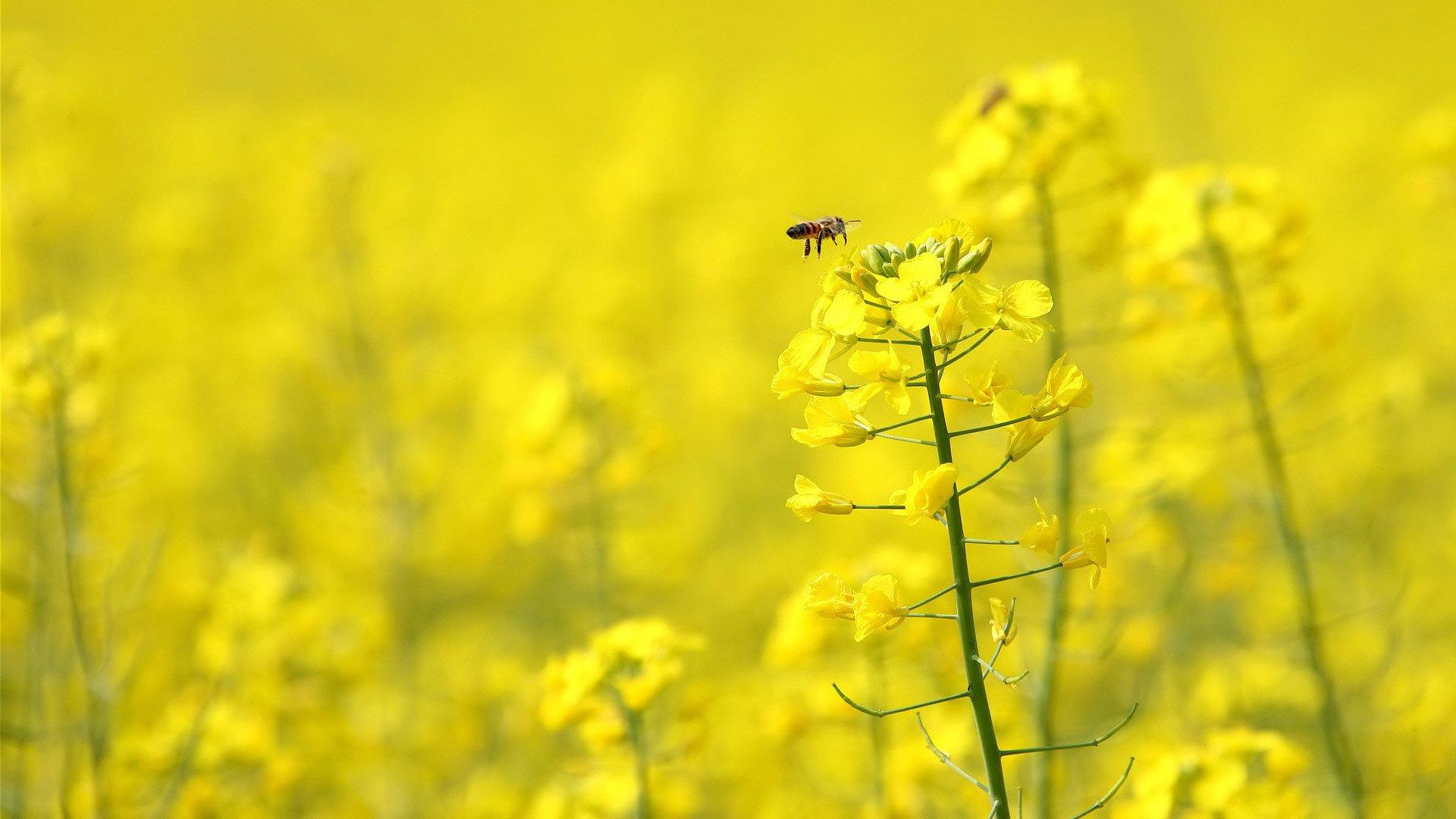 Honey bee on yellow flower wallpaper 206 1920x1080