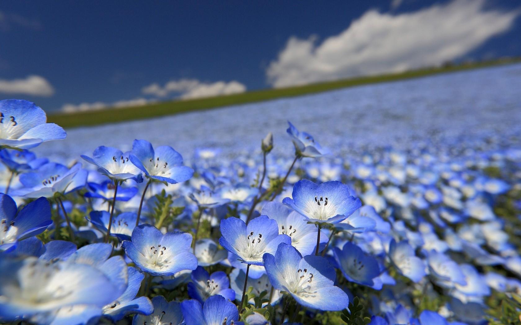 Blue Flower Wallpaper - WallpaperSafari