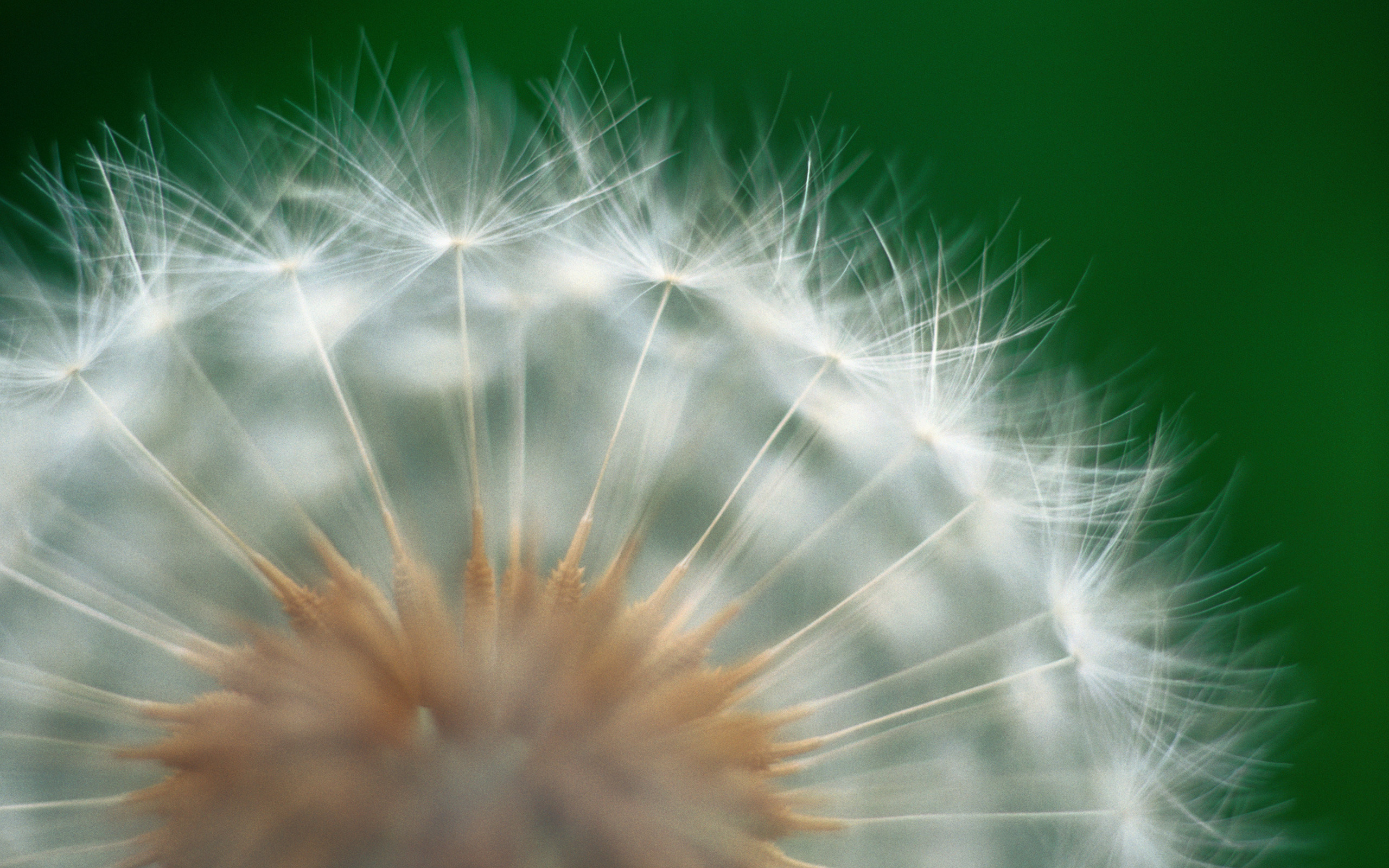784342 Dandelion Wallpaper Desktop h784342 Flowers HD Wallpaper 2560x1600