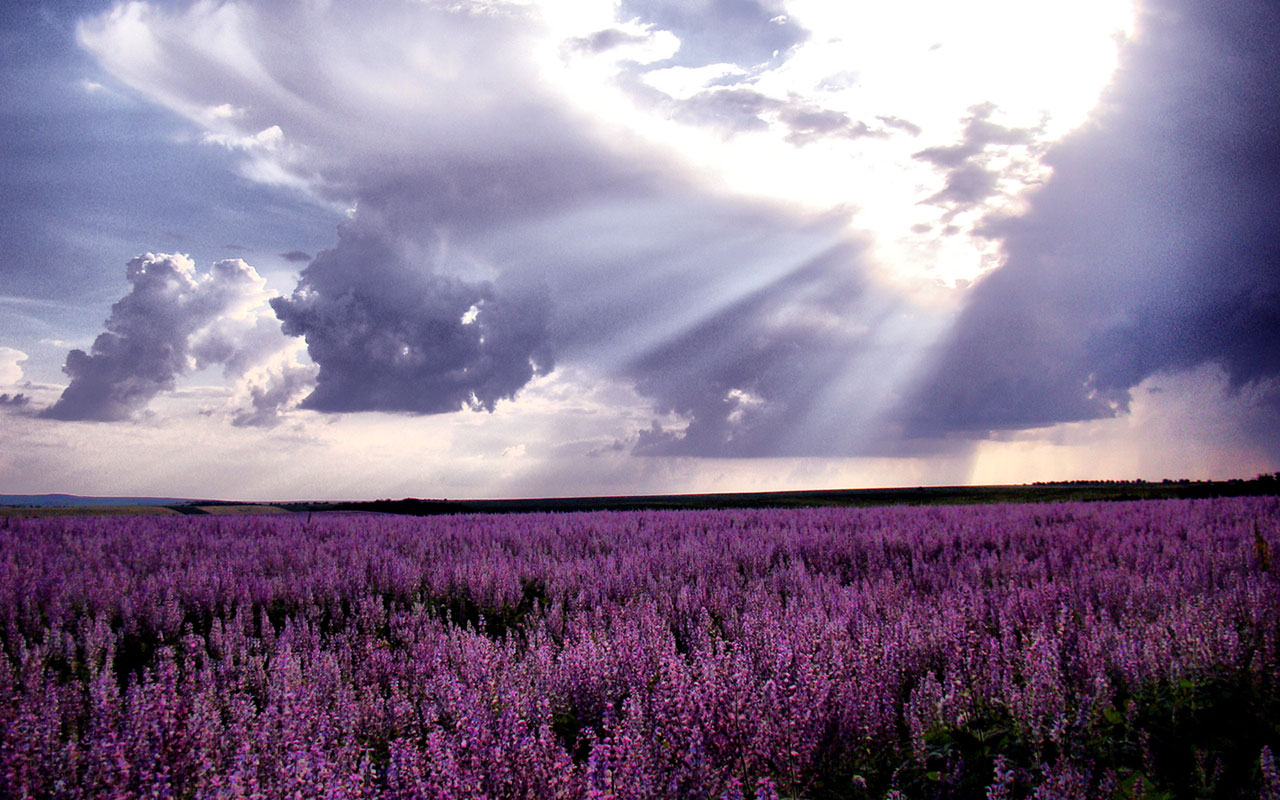 WallpapersWaiting for love lavender fields of photography wallpaper 2 1280x800