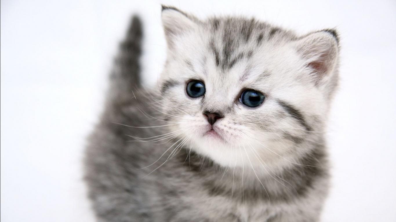 Kitten Wallpaper   1366x768 1366x768