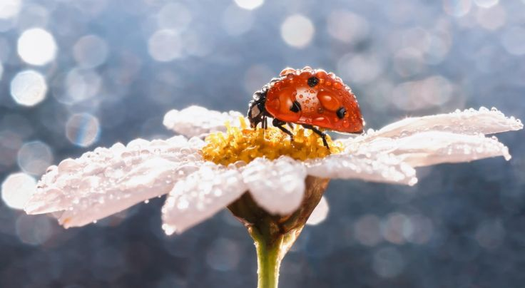 macro insect ladybug dew drops daisy flower wallpaper background 736x404