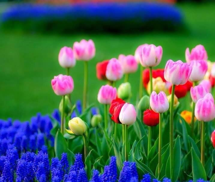spring tulips Quotes 717x606