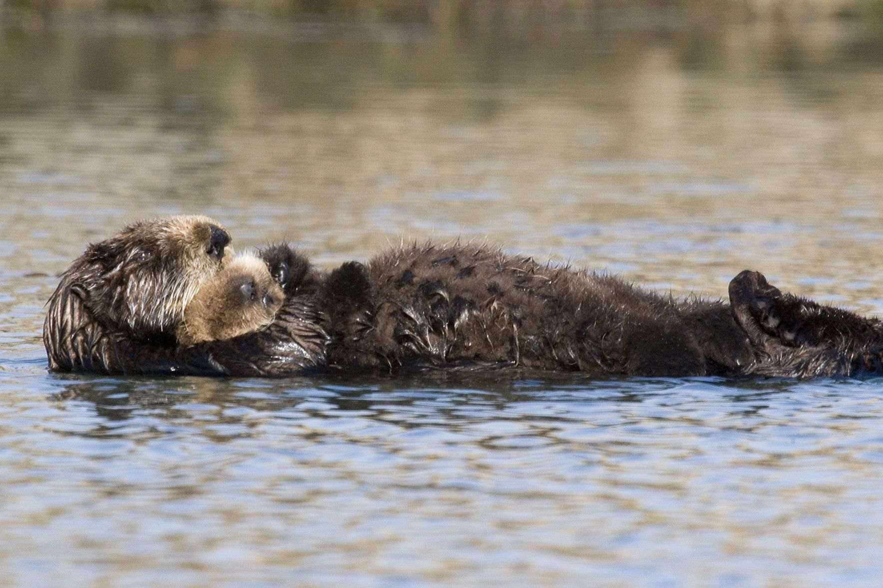 Sea Otter Wallpapers 1768x1178