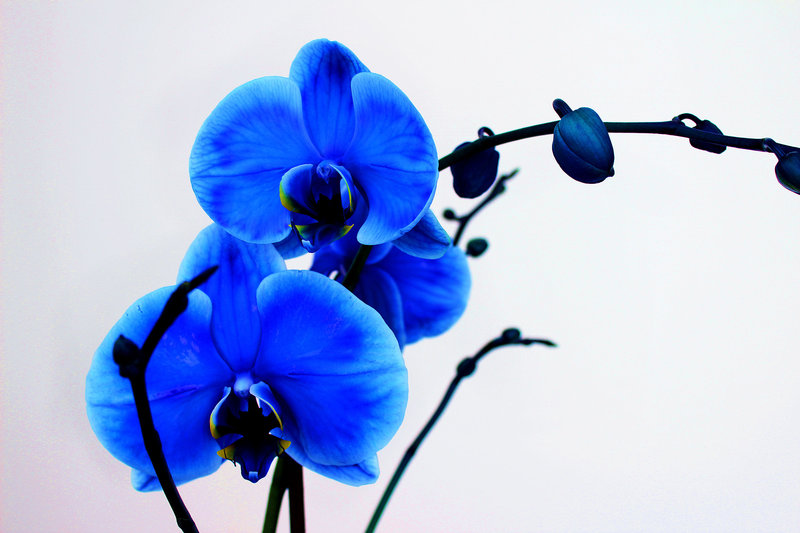 Blue Orchid Wallpaper Wallpapersafari
