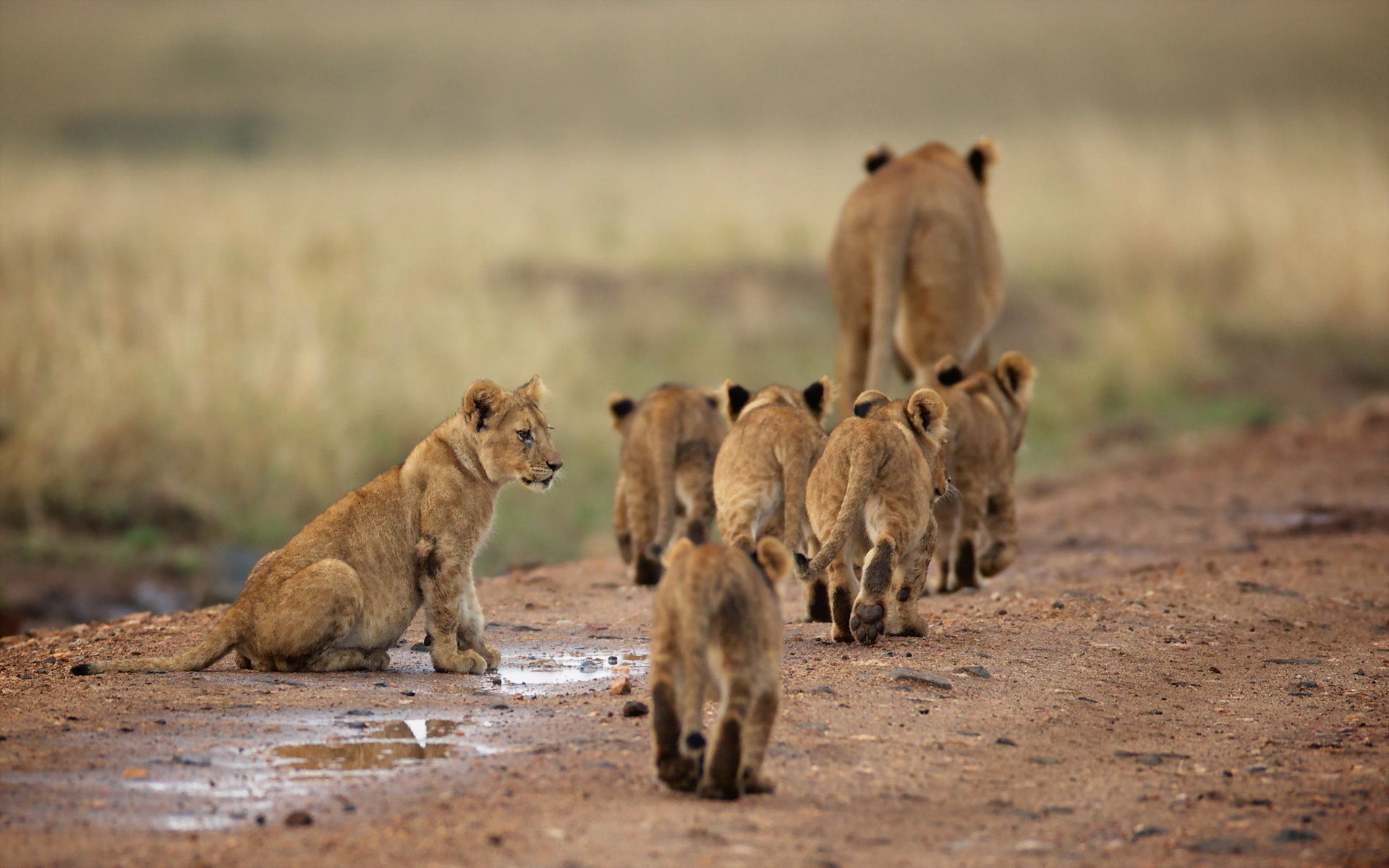 Choose Lion Family of cubs or find similar wallpapers in Animals pack 1920x1200