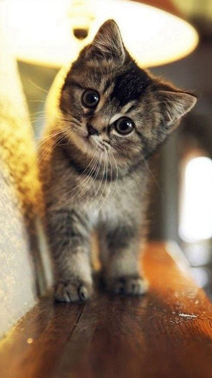 Cute Cat Wallpaper iPhone Cute Cat Wallpapers Cute cat 736x1308