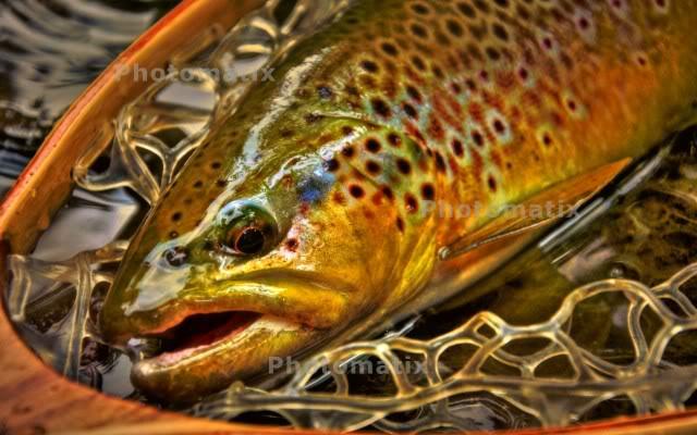 brown trout wallpaper 640x400