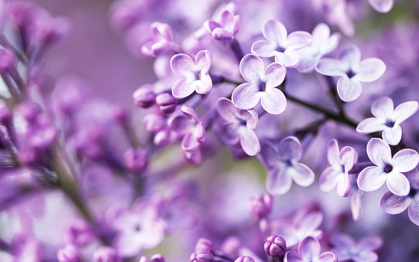 Spring Purple Flowers Wallpapers HD Wallpapers 1440x900