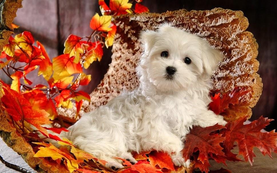 dog puppy white leaves autumn2014jpg 969x606