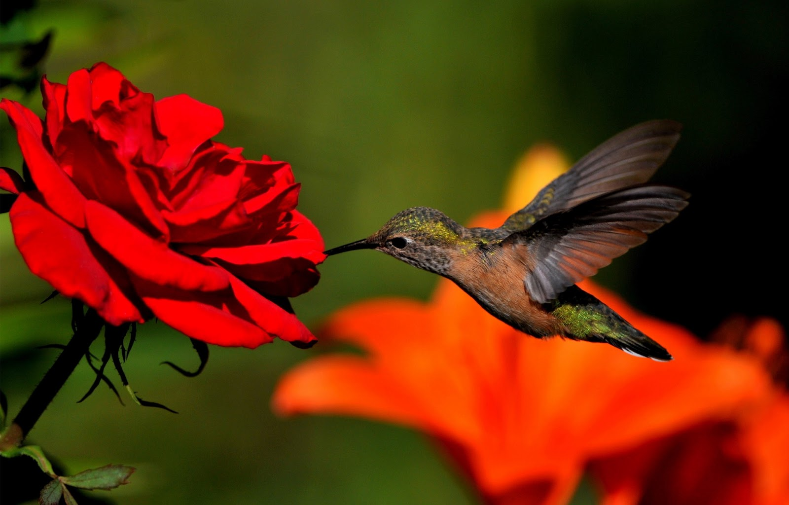 Hummingbird wallpaper background wallpapersafari - Wallpaper 1600x1024 ...