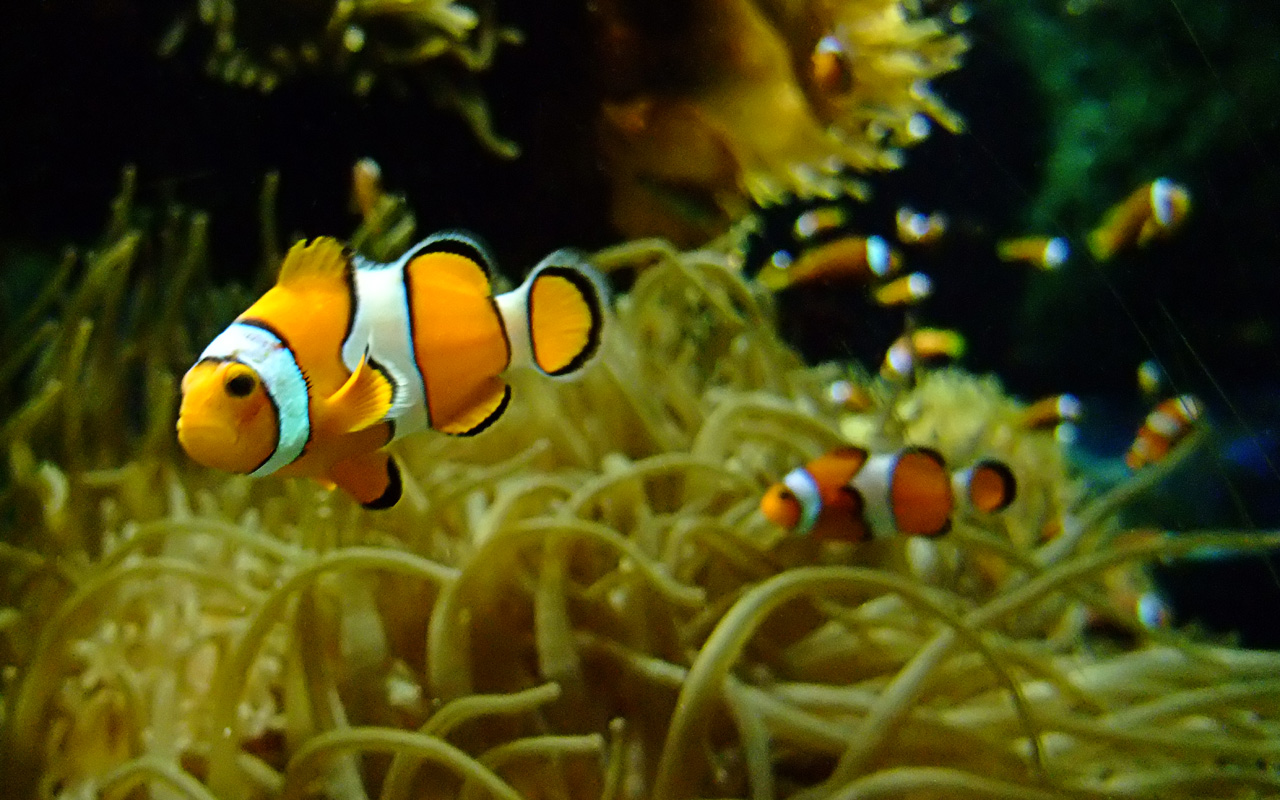 Clown Fish Wallpaper Amazing Wallpapers 1280x800