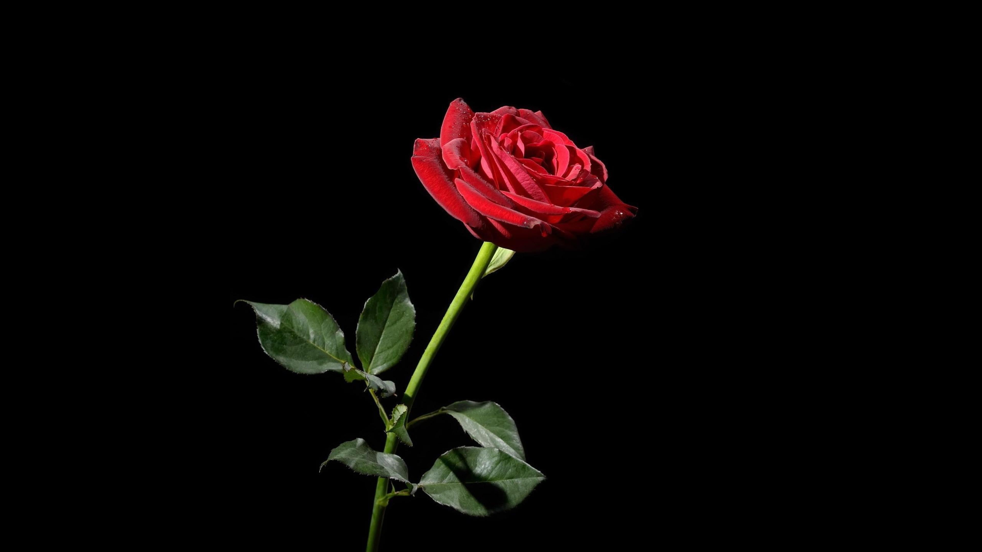 Rose Red Flower Black background Wallpaper Background 4K Ultra HD 3840x2160