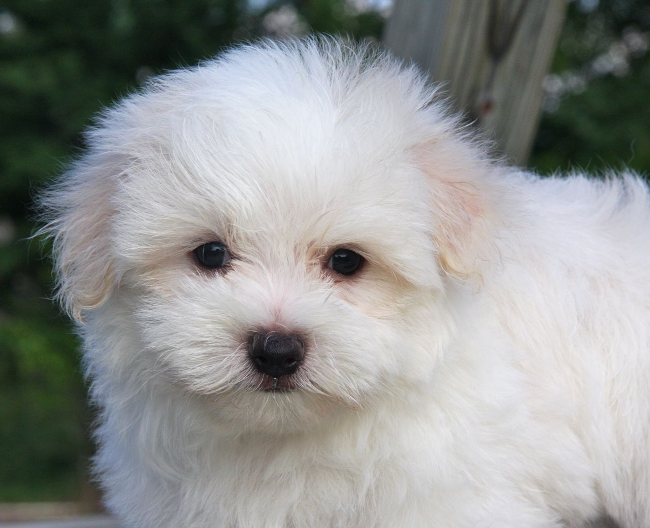 Maltese Pomeranian Mix Puppies For Sale 33 Background 1280x1040