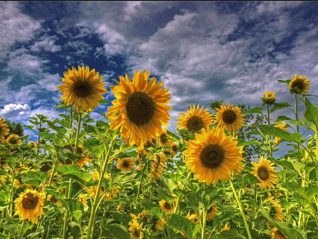 Sunflower Field Wallpaper wallpaper Sunflower Field Wallpaper hd 1024x768