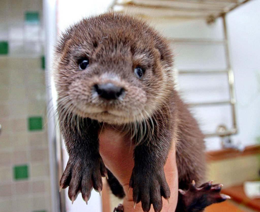 Baby Otter 1024x835