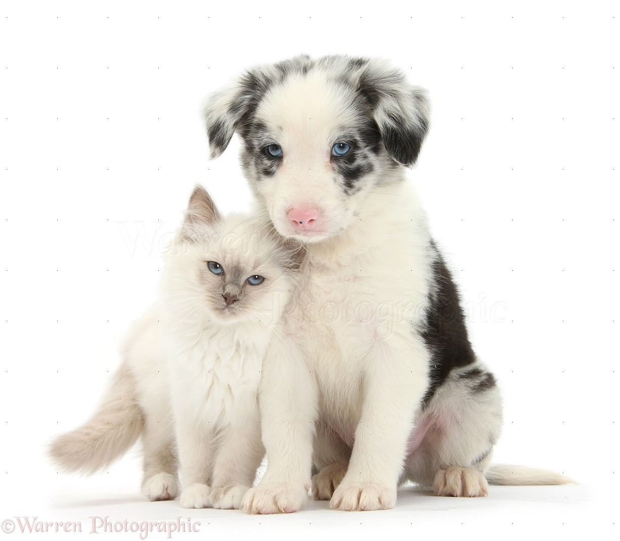33835 Blue point kitten and merle and white Border Collie puppy white 1226x1069