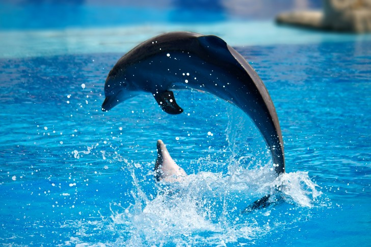 Dolphin Wallpapers Wallpaper Download Wallpaper Animal 62852 728x485