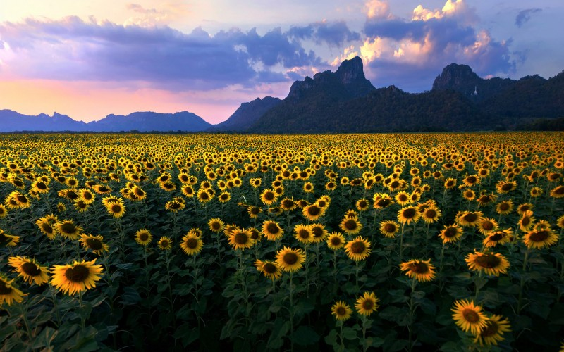 sunflowers fields wallpaper description download sunflowers fields 800x500
