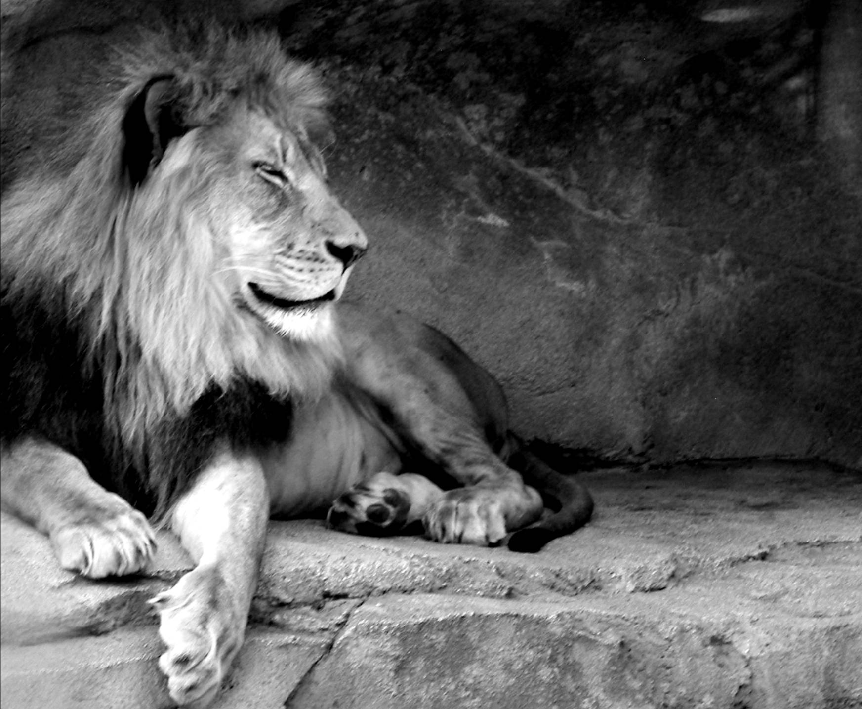 Free Download Black And White Lion Wallpaper 1745x1435 For Your