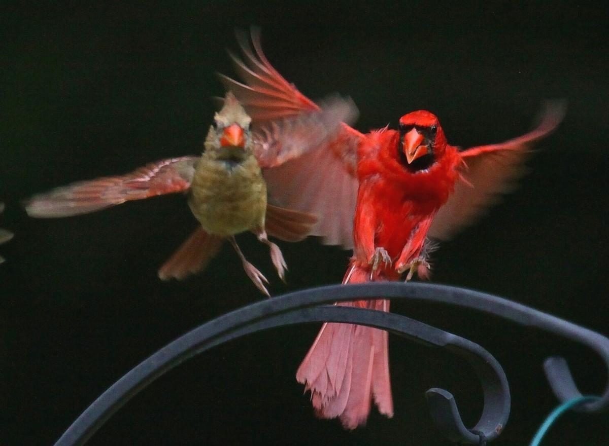 cardinalscardinal birdflying cardinalsweet cardinalsred cardinal 1200x880