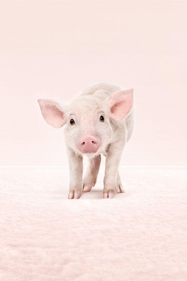 Pig Screensaver Wallpaper Free - WallpaperSafari