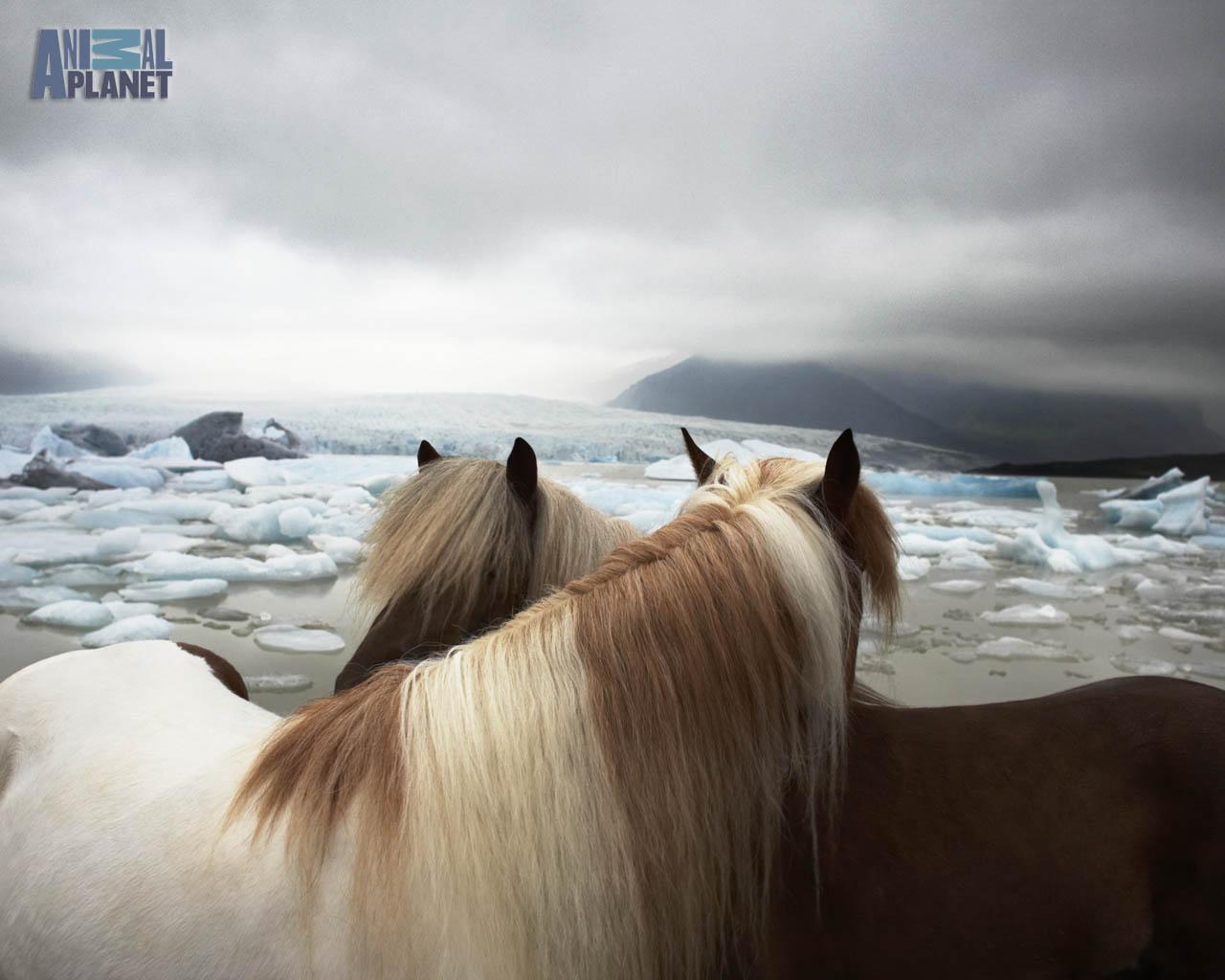 Animal Planet Wallpaper Download   horses 1280x1024