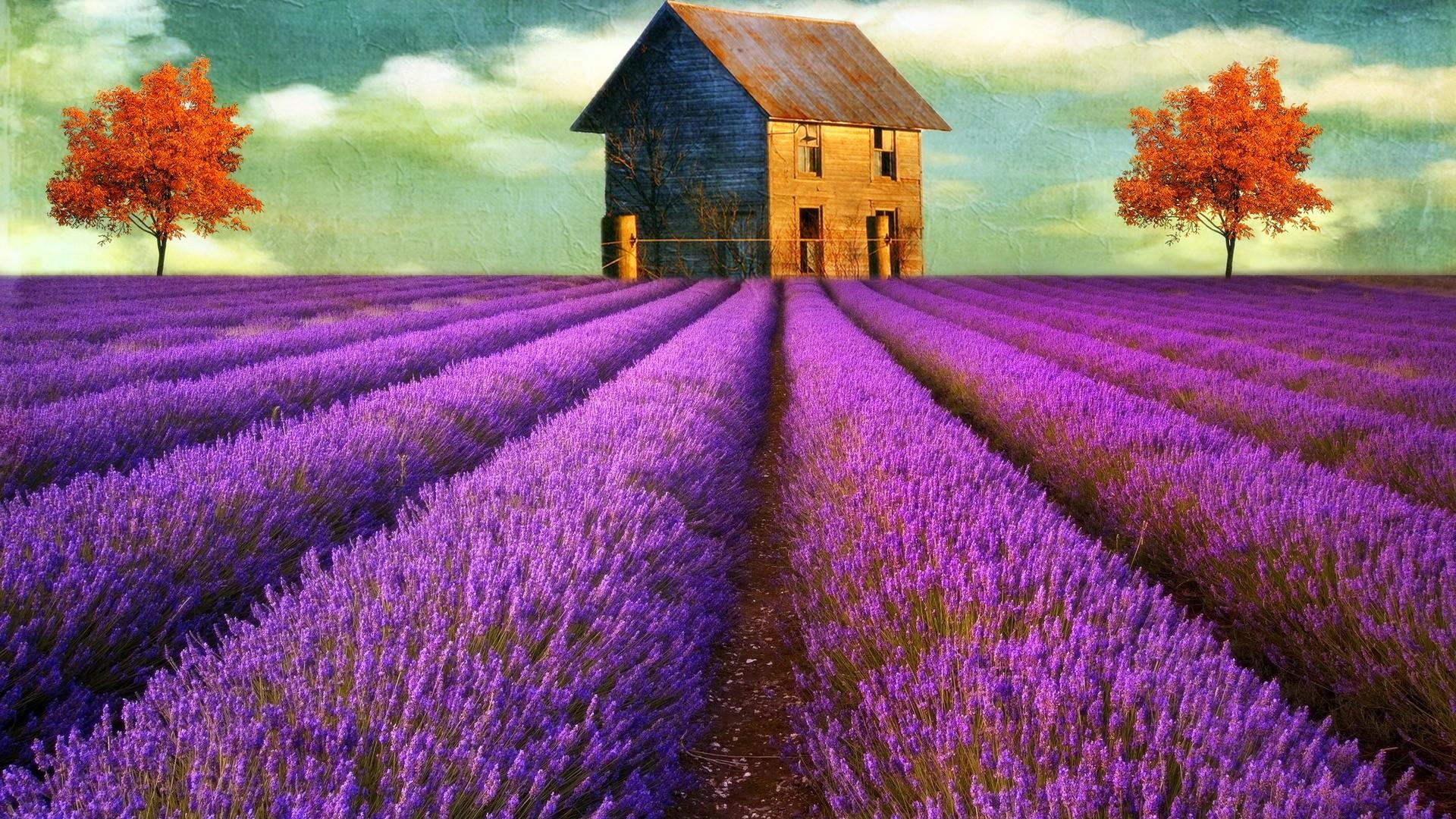 Lavender Flowers Desktop Wallpaper   Wallpaper High Definition High 1920x1080