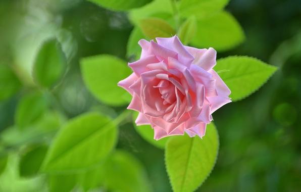 Wallpaper rose bud macro wallpapers flowers   download 596x380