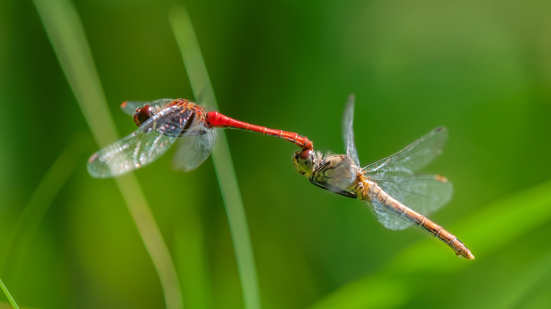 Red Dragonfly Computer Wallpapers Desktop Backgrounds 1920x1080