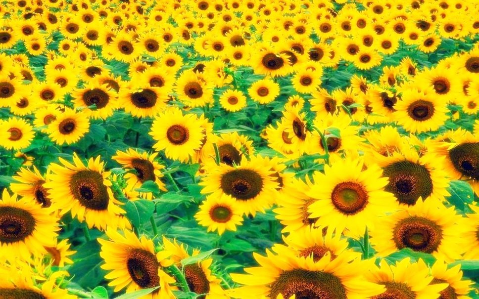 Fields of sunflowers wallpaper   ForWallpapercom 968x605