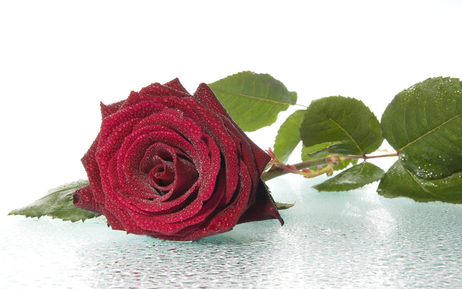 wallpapers Red Rose Wallpapers 1600x1000