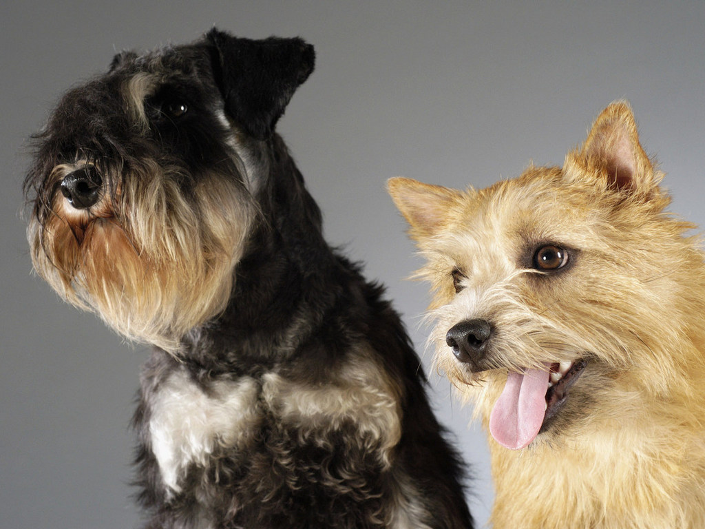 1024x768 wallpaper of yorkies - photo #35