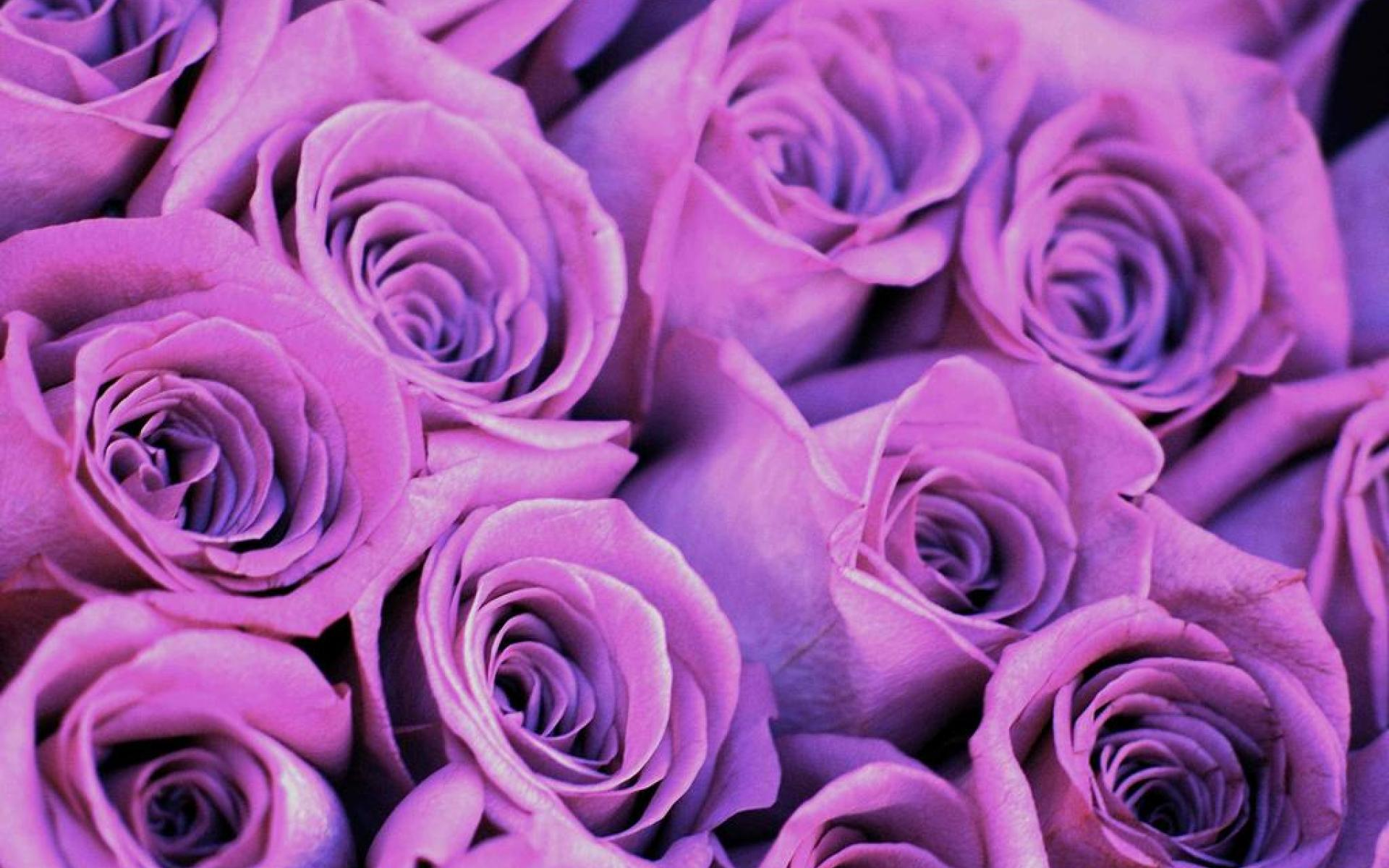 purple rose wallpapers wallpapersafari