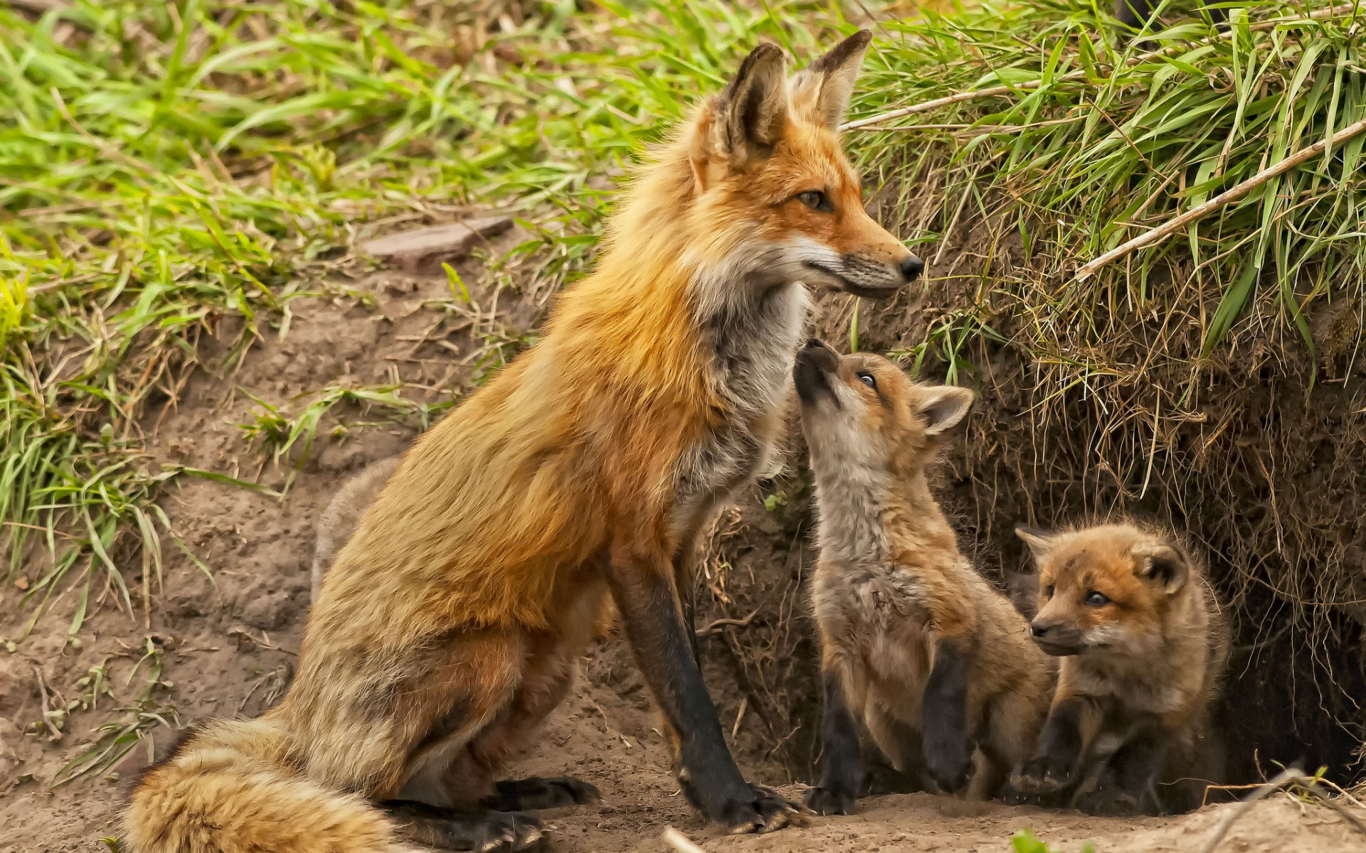 Fox cubs maternity kids babies wallpaper 1920x1200 136893 1920x1200