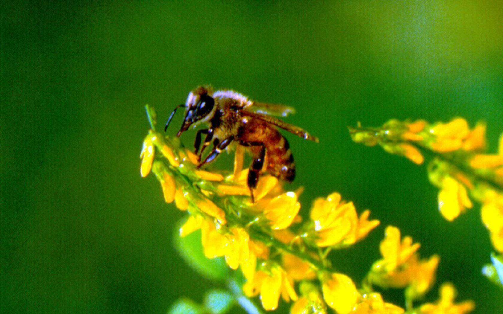 Bee Wallpapers 1680x1050