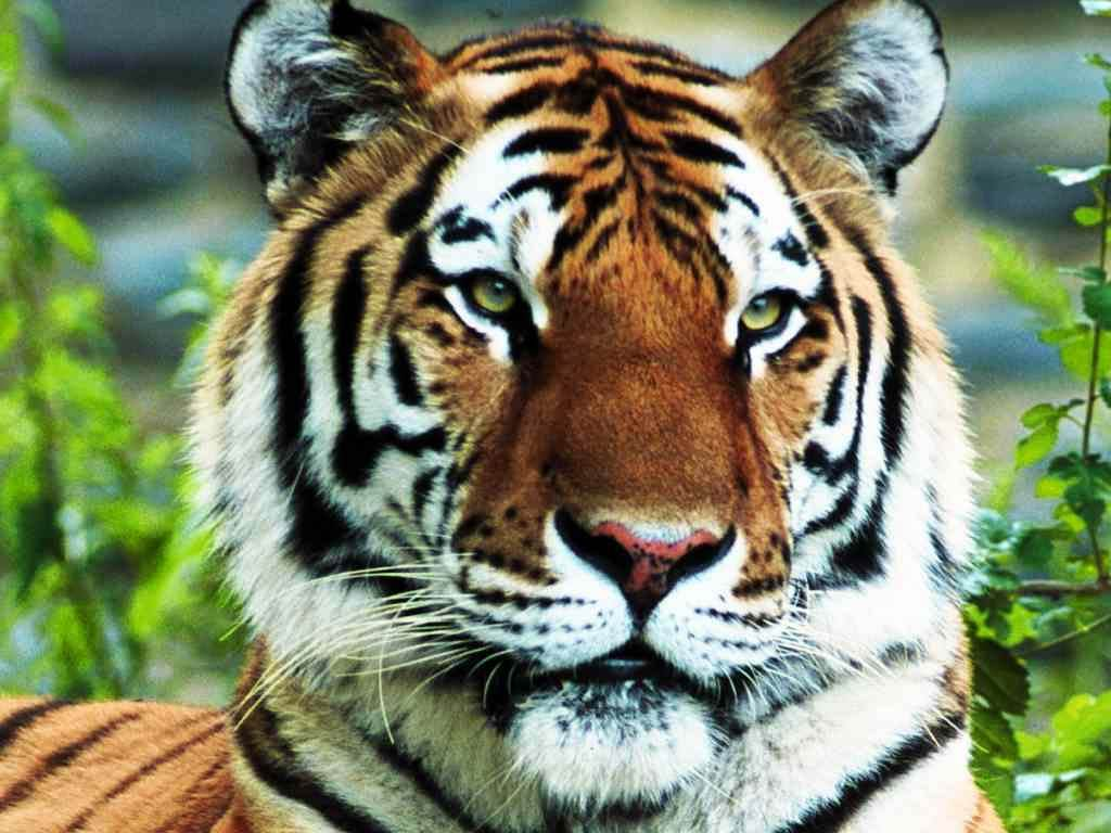 free Tiger wallpaper wallpapers download 1024x768