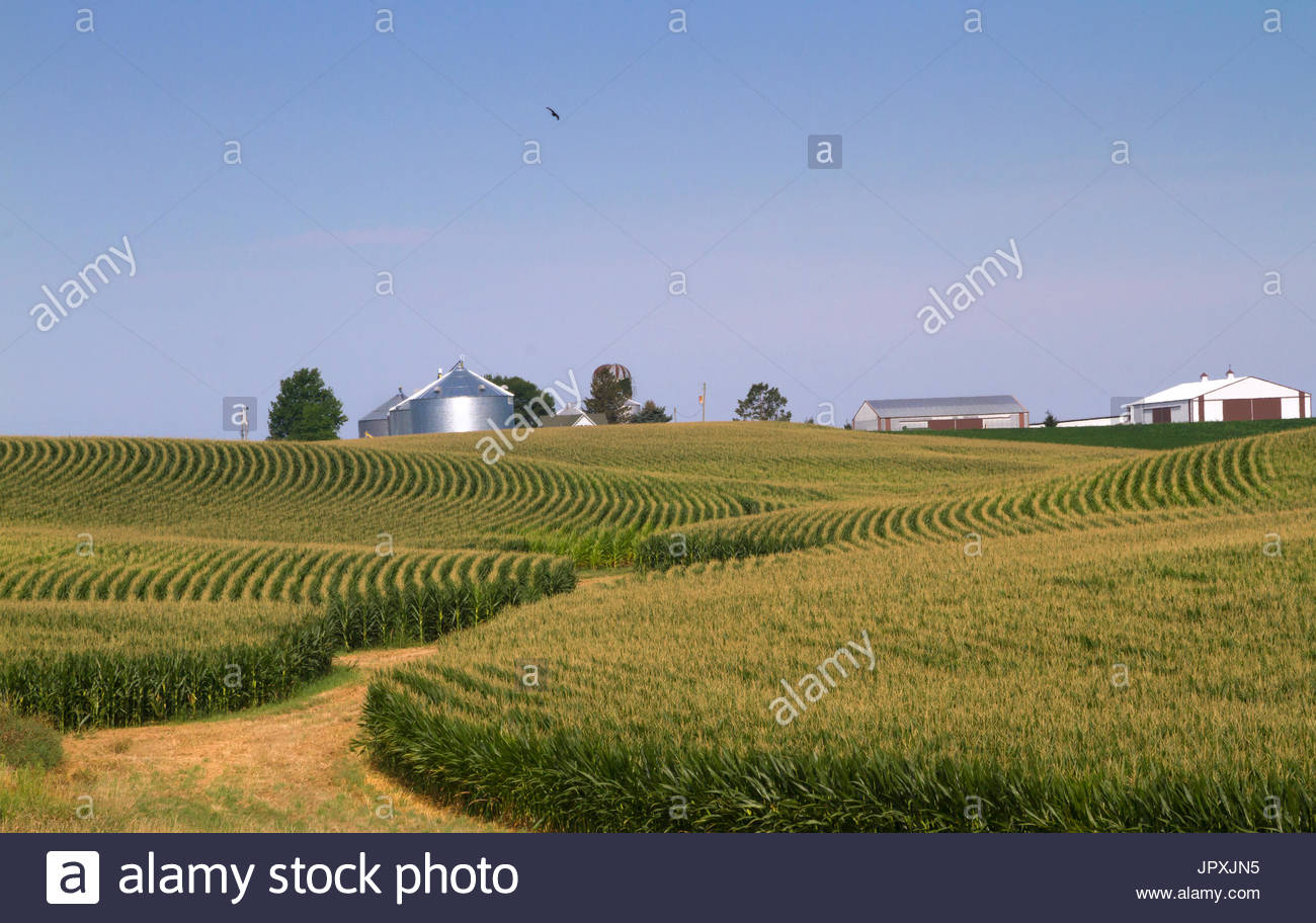 Corn field in Iowa with blue sky and farm buildings on background 1300x912