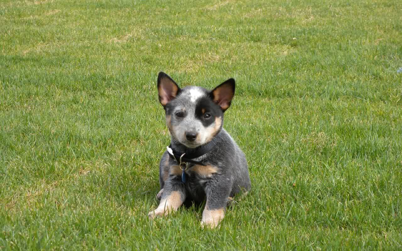 Best 58 Blue Heeler Wallpaper on HipWallpaper Blue Heeler 1280x800