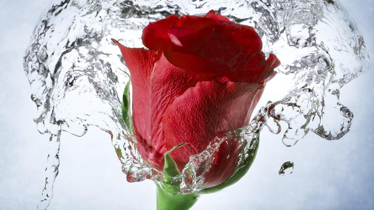 Red Rose Live Wallpaper   Android Apps on Google Play 1280x720