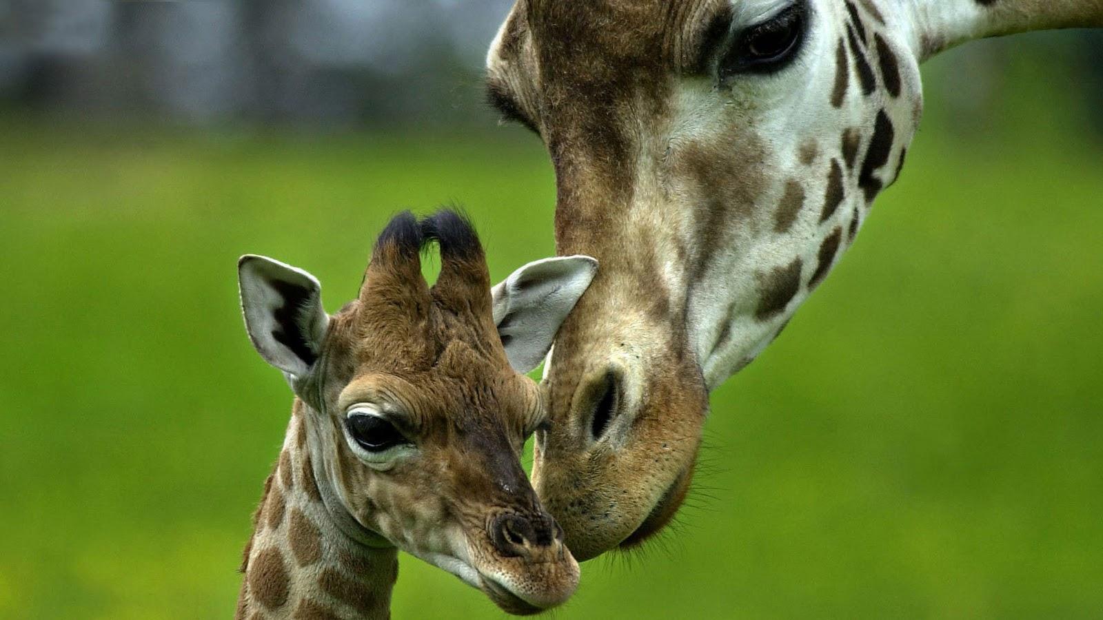 Free Download Giraffe Achtergronden Dieren Hd Giraffe
