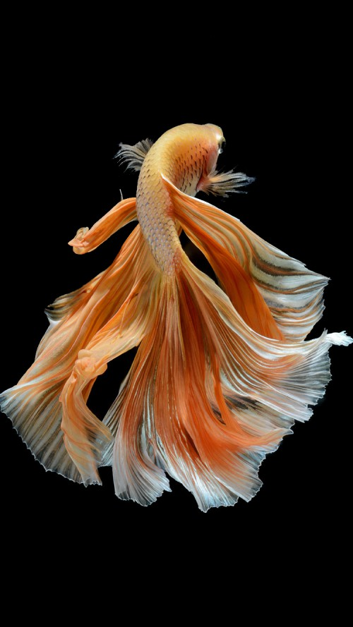Apple iPhone 6s Wallpaper with Elegant Male Gold Betta Fish in Dark 500x889