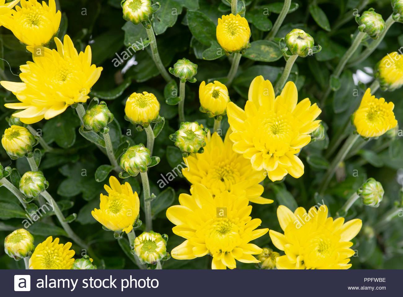 Yellow fall mums flowers like art background Stock Photo 1300x957