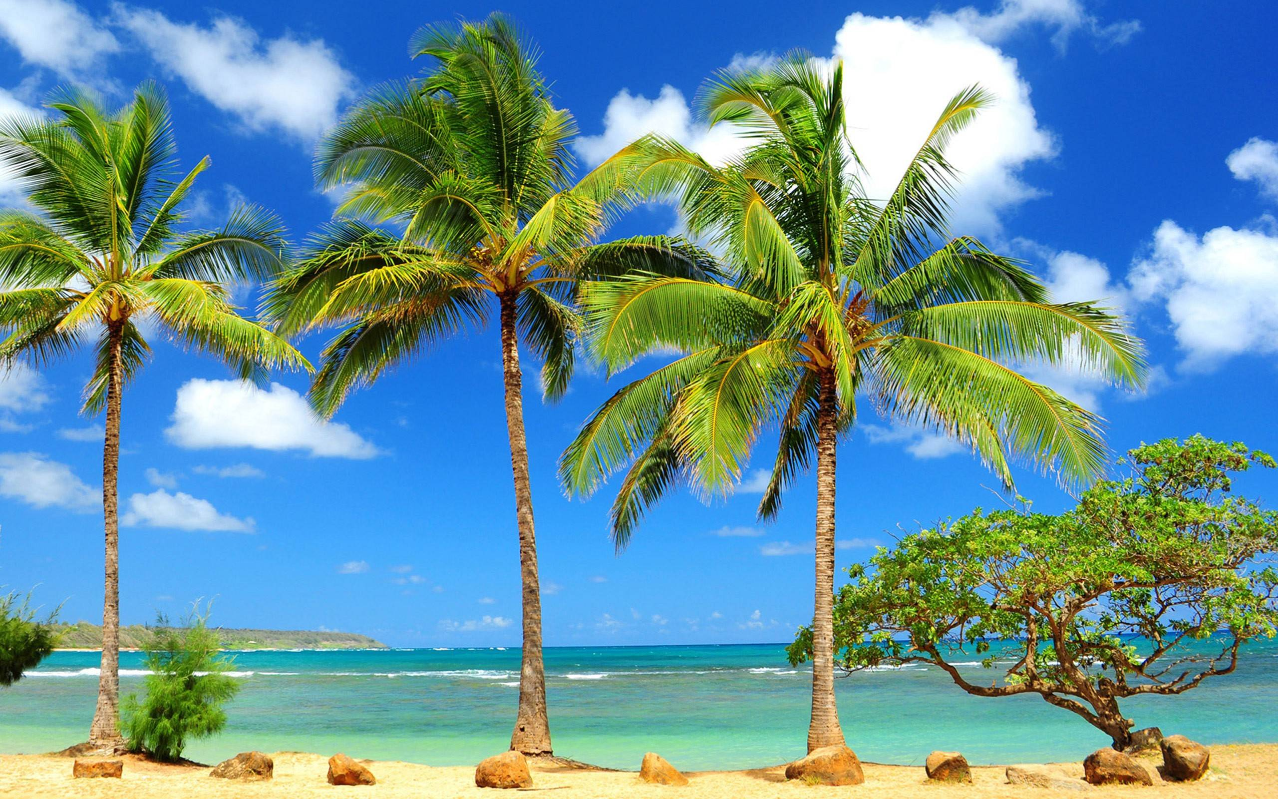 Palm Tree Wallpapers 2560x1600