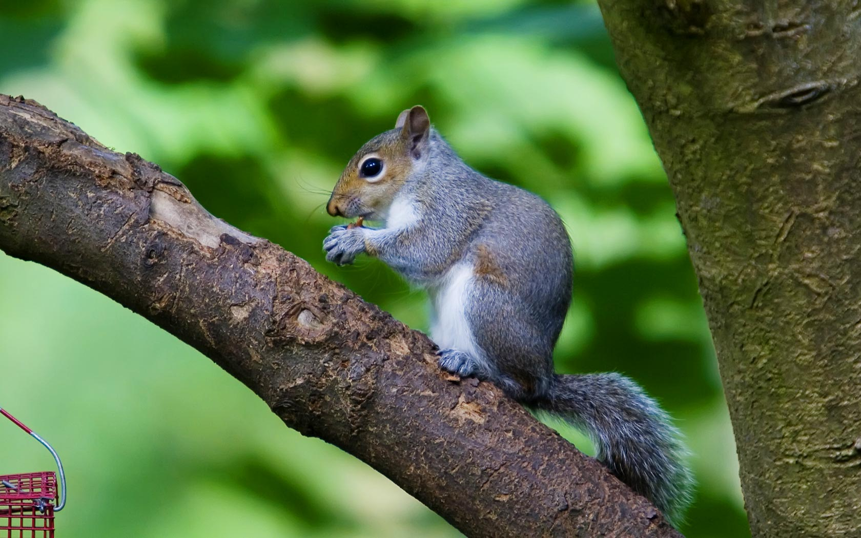 75 Hd Animals Ipad Backgrounds: Squirrel Wallpapers For Desktop