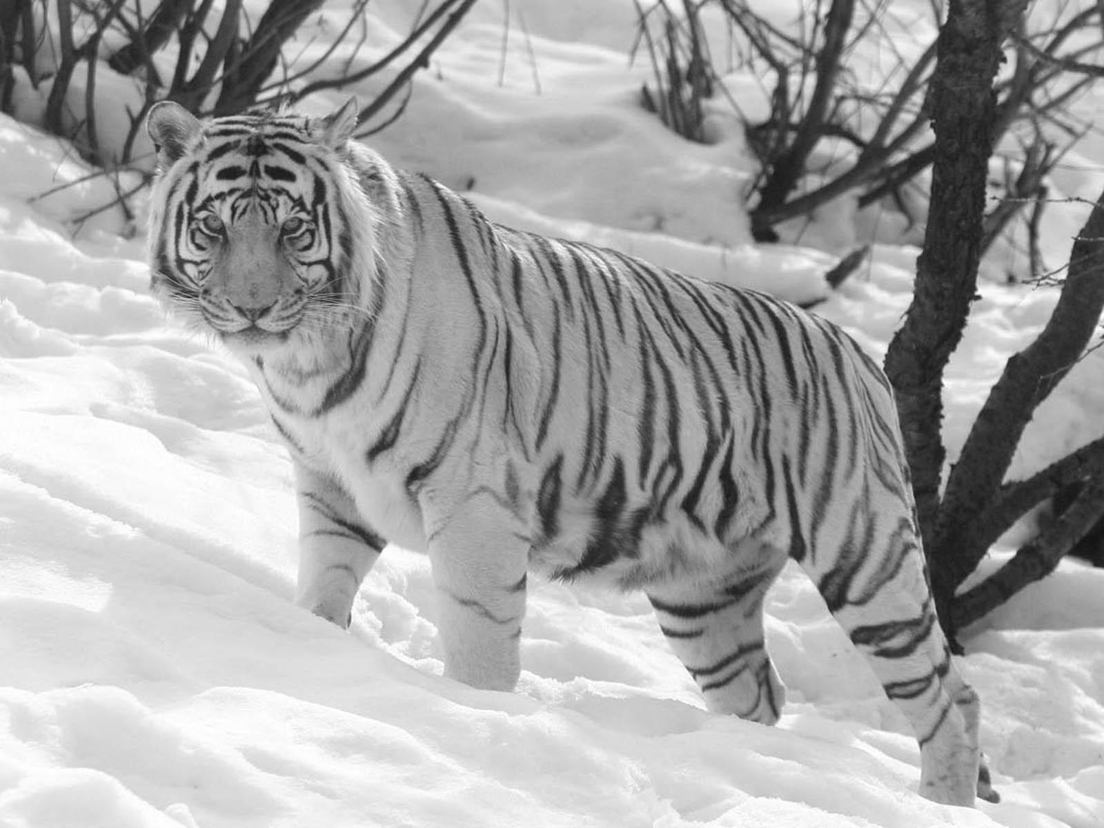 the white tiger wallpapers white tiger desktop wallpapers white tiger 1600x1200