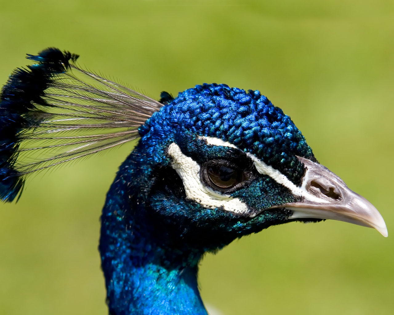 Desktop wallpaper of a blue peacocks head and crest at Newstead abbey 1280x1024